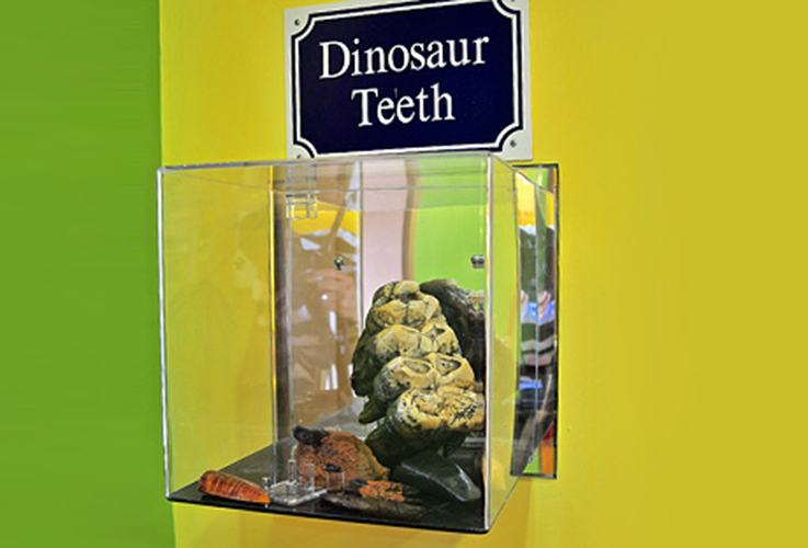 Dinosaur teeth in display case